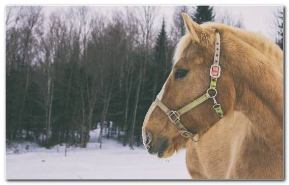 Image Snow Stallion Stock Horse Winter Snout