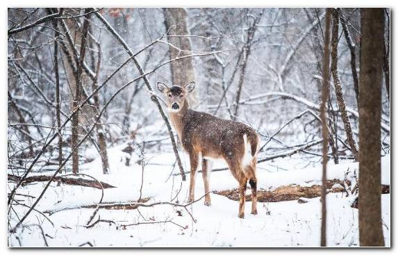 Image Snow White Tailed Deer Tree Wildlife Deer