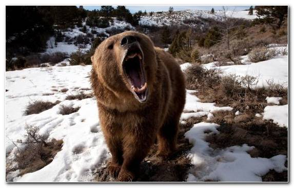 Image snow wildlife bear freezing fur