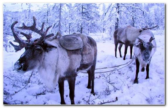 Image Snow Wildlife Elk Snout Antler