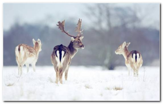 Image Snow Wolf Roe Deer Freezing White Tailed Deer