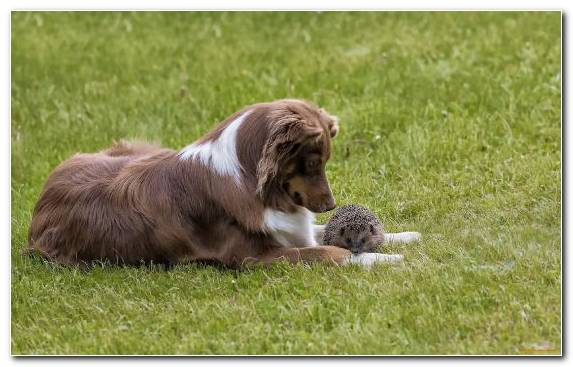 Image Spaniel Sporting Group Dog Breed Group Bearded Collie Field Spaniel