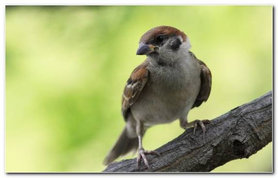 Image Sparrow Bird House Sparrow Perching Bird Beak