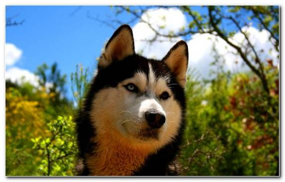 Image Spitz Snout Golden Retriever The Siberian Husky Grasses