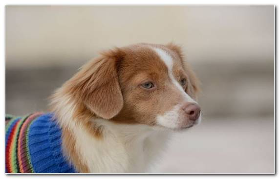 Image Sporting Group Dog Kooikerhondje Dog Breed Cavalier King Charles Spaniel