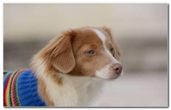 Image Sporting Group Dog Kooikerhondje Dog Breed Cavalier King Charles Spaniel
