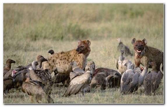 Image spotted hyena vulture fauna carrion terrestrial animal