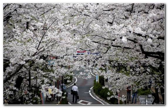 Image Spring Flower Cherry Hanami South Korea