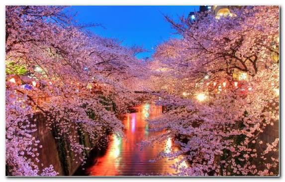 Image Spring Plant Blossom Cherry Cherry Blossom