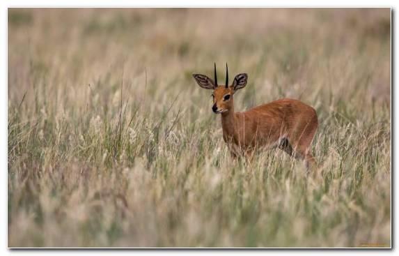 Image Springbok Antelope Grassland Impala Grazing