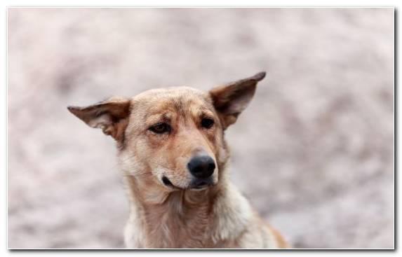 Image st bernard canaan dog dog breed aspin dog training