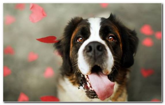 Image st bernard dog breed group rescue dog snout landseer