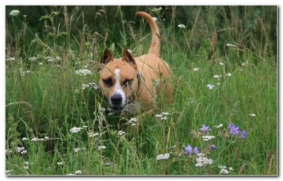 Image Staffordshire Bull Terrier Plummer Terrier Puppy Snout Boston Terrier