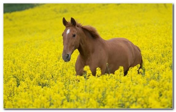 Image Stallion Canola Ecosystem Yellow White