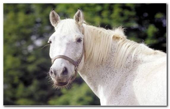 Image Stallion Horse Tack Black Snout Appaloosa