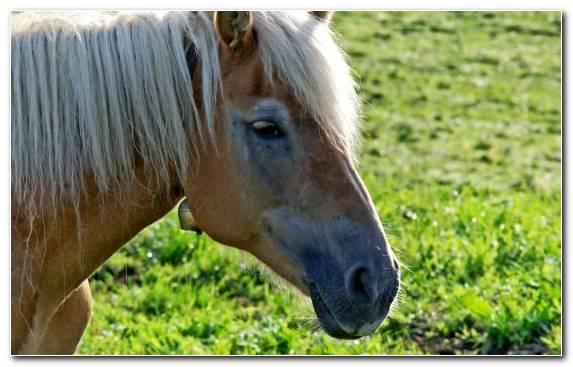 Image Stallion Mane Photograph Halter Fauna