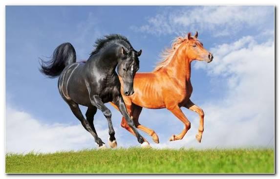 Image stallion mustang horse chestnut livestock pasture