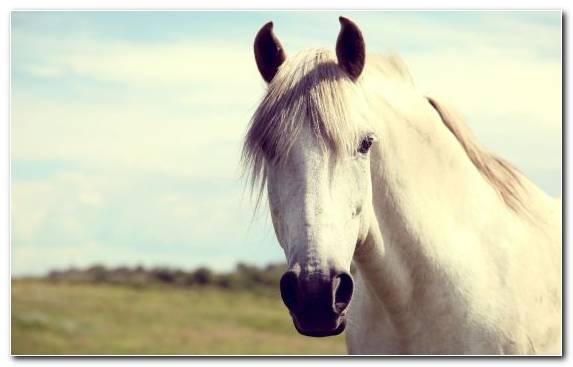 Image Stallion White Bridle Mustang Horse Horse
