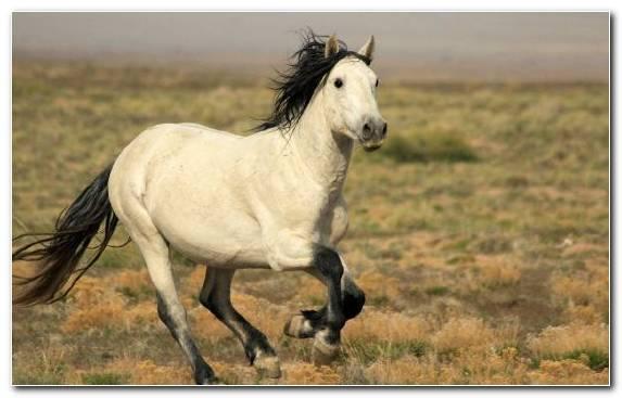 Image Steppe Buckskin Black American Quarter Horse Mane