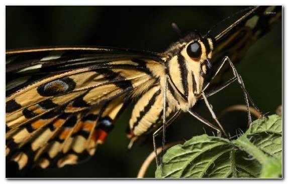 Image Swallowtail Butterfly Arthropod Pollinator Invertebrate Moths And Butterflies