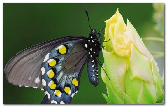 Image Swallowtail Butterfly Insect Invertebrate Butterfly Brush Footed Butterfly