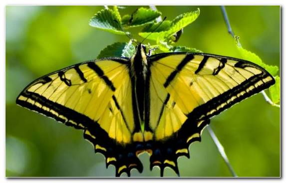 Image Swallowtail Butterfly Lycaenid Invertebrate Pieridae Wing
