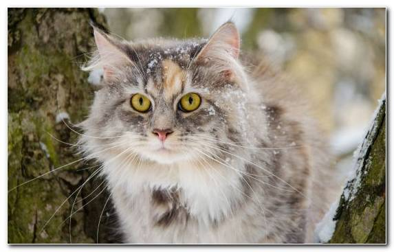 Image Tabby Cat Aegean Cat Whiskers Norwegian Forest Cat Snout