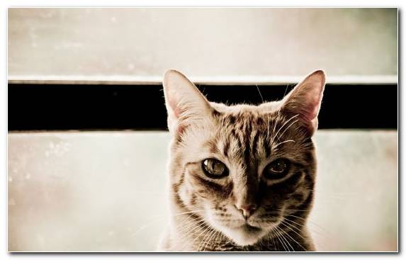 Image tabby cat egyptian mau nose