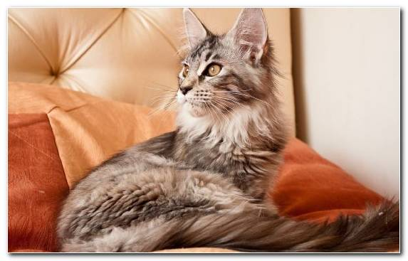 Image Tabby Cat Maine Coon Breed Cat Breed Mammal