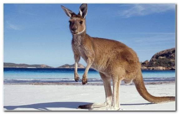 Image Tail Wallaby Australia Sydney Wildlife Beach