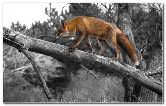 Image tail wildlife tree arctic fox red fox