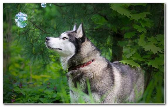 Image Tamaskan Dog Dog Puppy Saarloos Wolfdog Alaskan Malamute