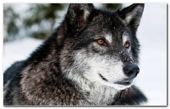 Image Tamaskan Dog Eyes Wildlife