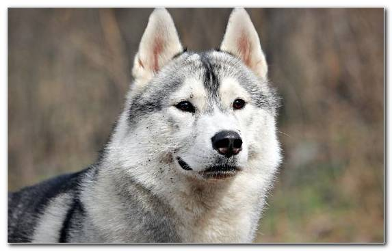 Image Tamaskan Dog Puppy Sakhalin Husky Alaskan Malamute Boxer