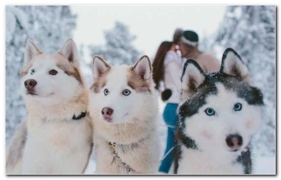 Image Tamaskan Dog Sakhalin Husky Dog Alaskan Malamute Czechoslovakian Wolfdog