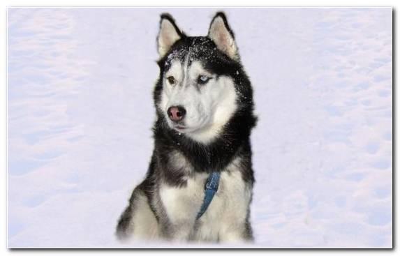 Image Tamaskan Dog West Siberian Laika Dog Like Mammal Sakhalin Husky Seppala Siberian Sleddog