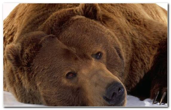 Image Teddy Bear Terrestrial Animal Brown Bear Snout Kodiak Bear