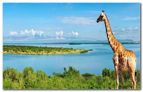 Image Terrestrial Animal Essay National Park Giraffe Writing