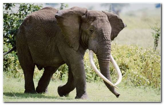 Image Terrestrial Animal Mammoth Elephants And Mammoths Grass Elephant
