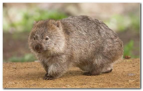Image terrestrial animal United States of America beaver wombat australia