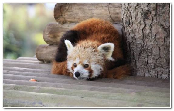 Image Terrestrial Animal Animal Mammal Red Panda Wildlife