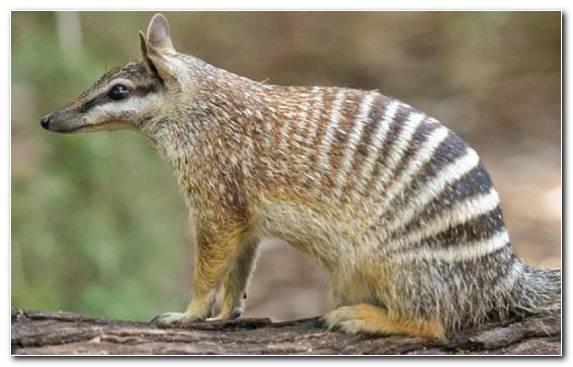 Image Terrestrial Animal Animal Meerkat Emblem Jackal