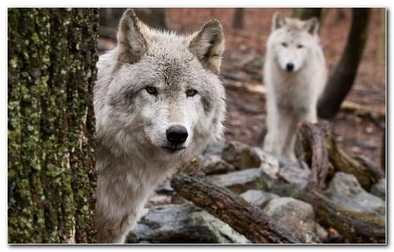 Image Terrestrial Animal Arctic Wolf Wolfdog Dieting Diet