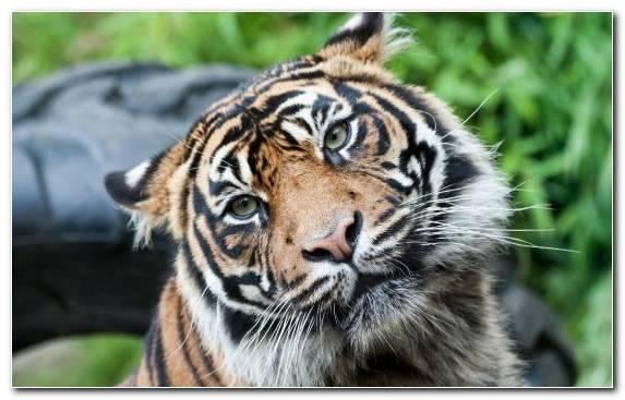 Image terrestrial animal bengal tiger snout siberian tiger zoo