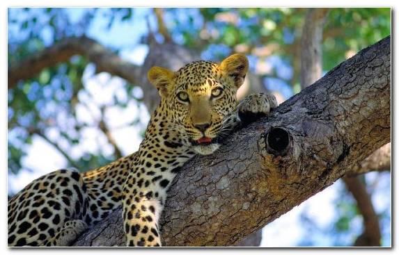 Image Terrestrial Animal Big Cats Snout Kruger National Park National Park