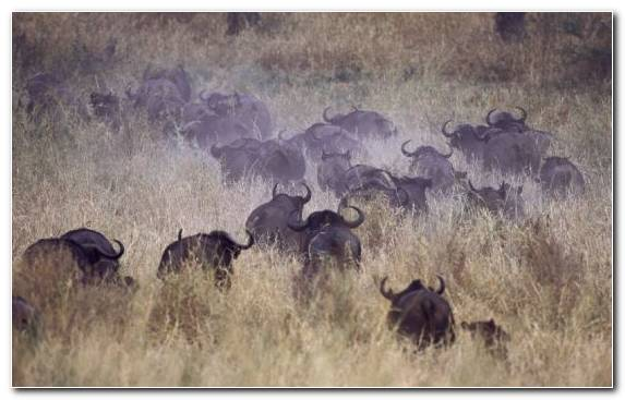 Image Terrestrial Animal Desert Nature Reserve Grassland Wildebeest