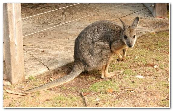 Image Terrestrial Animal Dog Marsupial Dog Like Mammal Wildlife