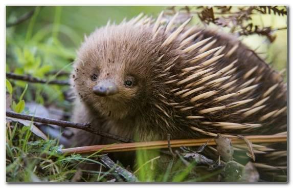 Image Terrestrial Animal Echidna Porcupine Hedgehog Snout