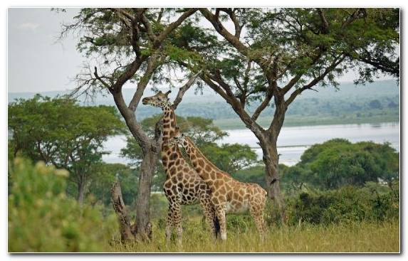 Image Terrestrial Animal Ecosystem Wildlife Grazing Lake Nakuru