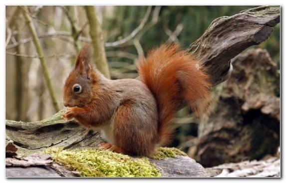 Image Terrestrial Animal Fox Squirrel Wildlife Wood Snout